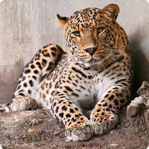 Леопард красивые фото животных