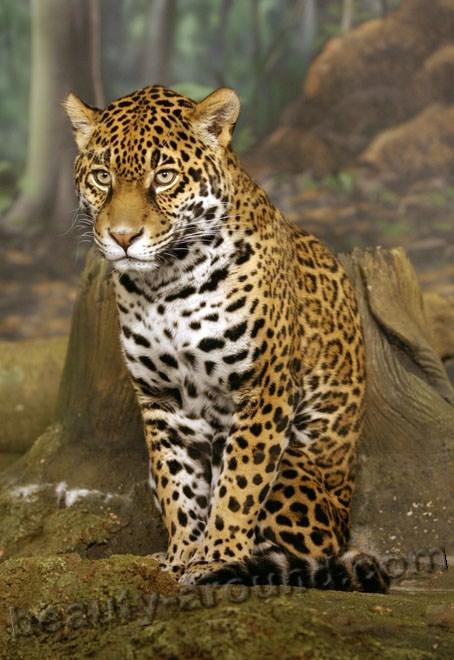 Ягуар красивые фото животных