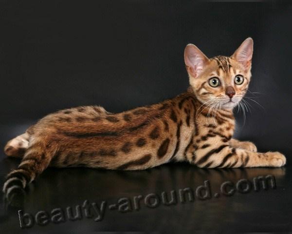 Бенгальская кошка красивая порода