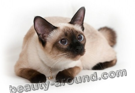 Сиамская кошка красивая порода
