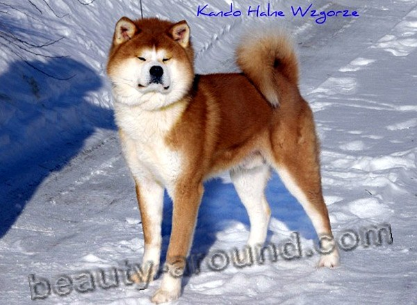 Akita Inu  Beautiful photos of dog breeds