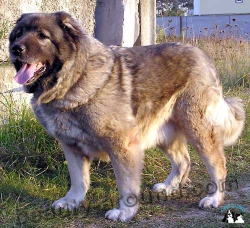 Caucasian Shepherd Beautiful photos of dog breeds