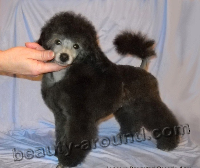 Poodle Beautiful dog breed