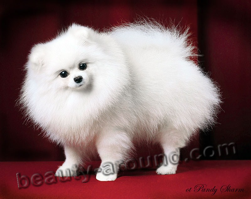 Pomeranian Beautiful photos of dog breeds