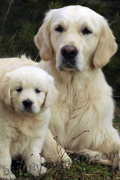 Golden Retriever Beautiful dog breed
