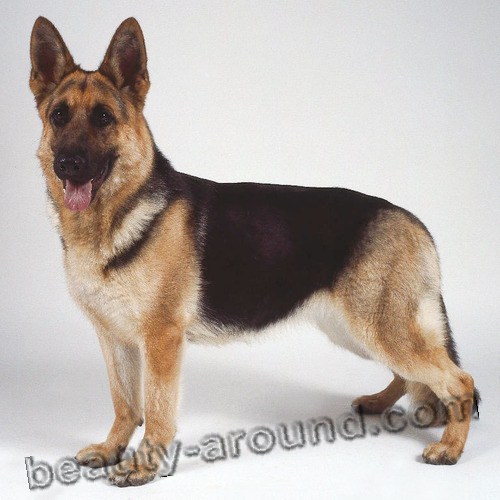 German shepherd Beautiful photos of dog breeds