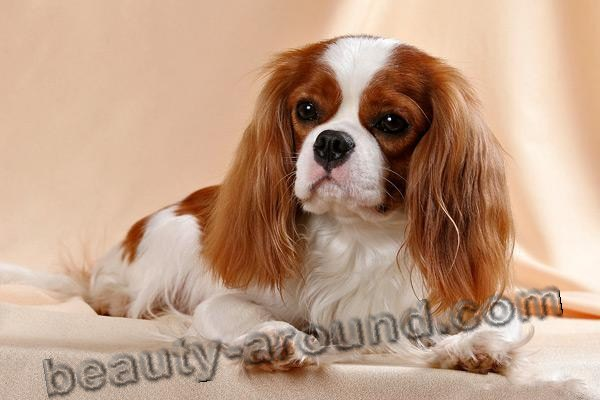 Cavalier King Charles Spaniel beautiful photos of dog breeds