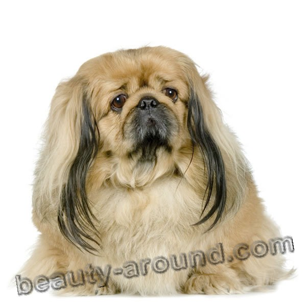 Pekinese  Beautiful photos of dog breeds