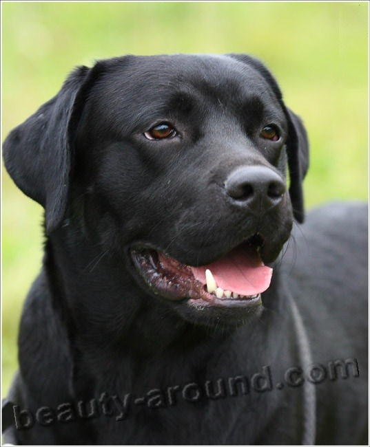 Labrador Retriever  Beautiful photos of dog breeds
