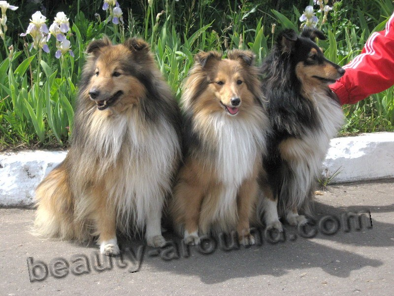 Sheltie Shetland Beautiful photos of dog breeds