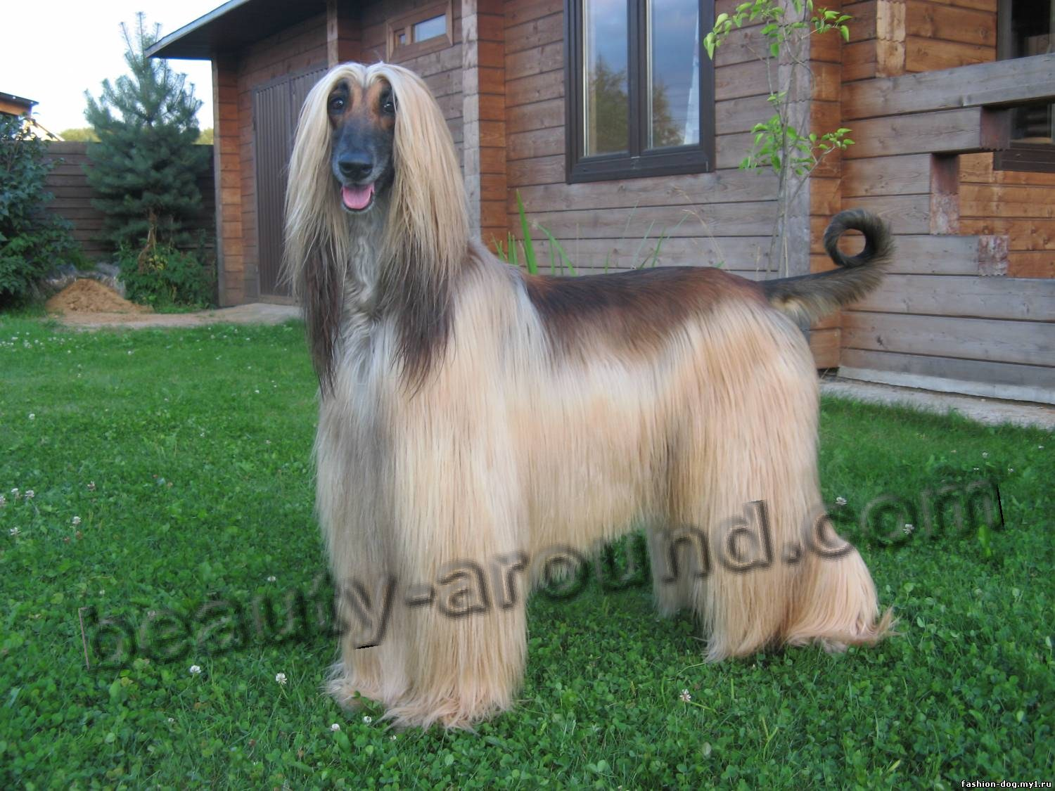 Beautiful photos of dog breeds Afghan Hound (Afghan)