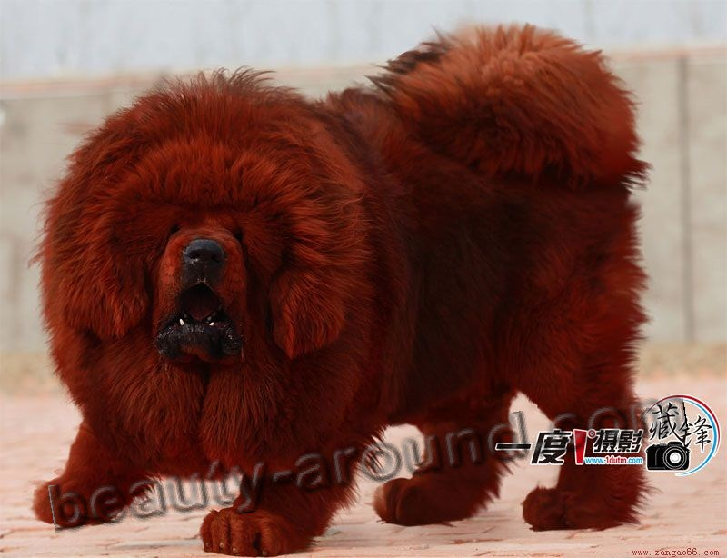 Tibetan Mastiff Beautiful dog breed