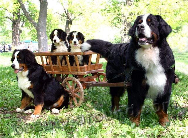 Bernese Sennenhund Beautiful photos of dog breeds