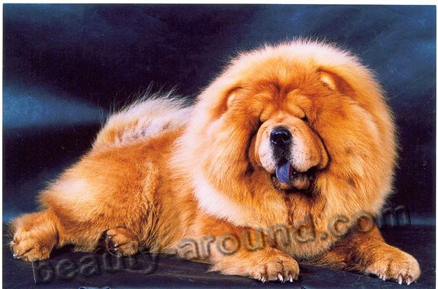 Chow-chow Beautiful photos of dog breeds
