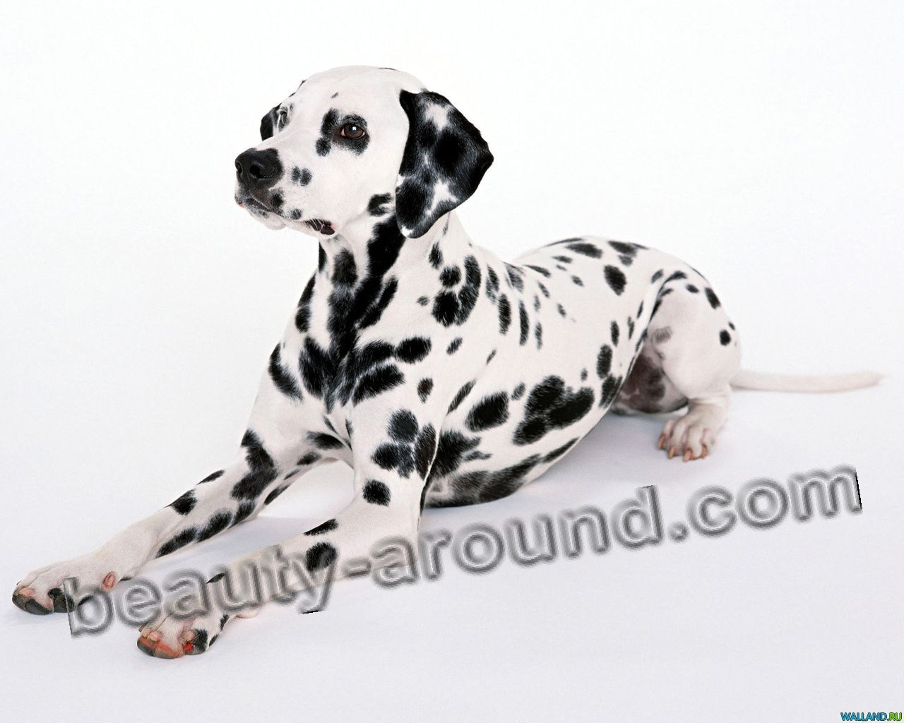 Dalmatin Beautiful photos of dog breeds