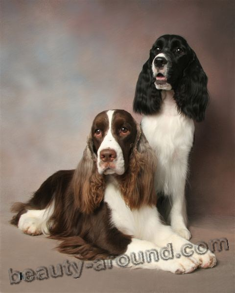 English Springer Spaniel Beautiful photos of dog breeds