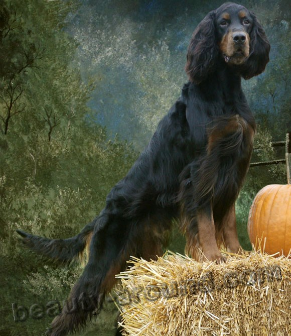Scottish Setter (black and tan setter) Beautiful dog breed