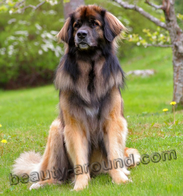 Leonberger Beautiful photos of dog breeds