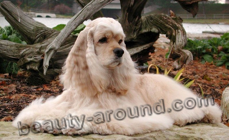 American Cocker Spaniel Beautiful photos of dog breeds