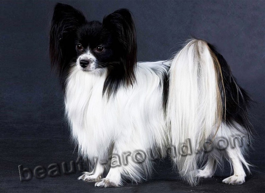 Papillon Beautiful photos of dog breeds