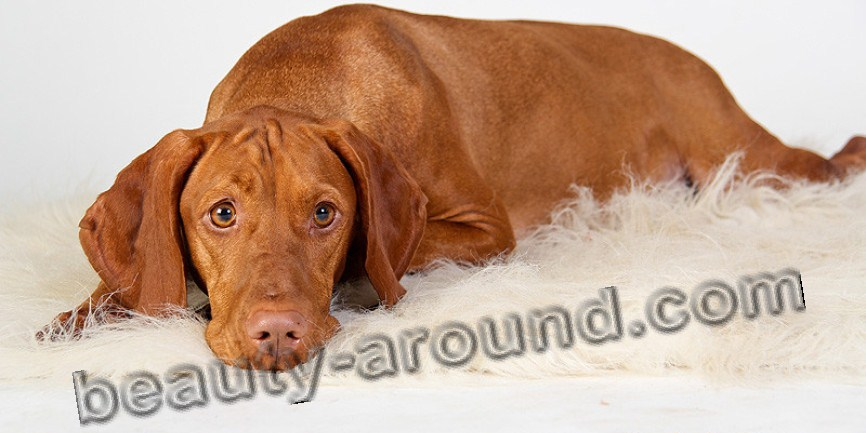 Hungarian Pointer Beautiful dog breeds