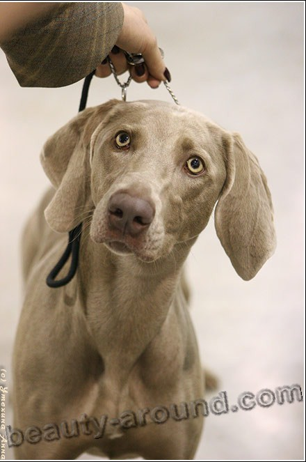 Weimar Pointer Beautiful photos of dog breeds