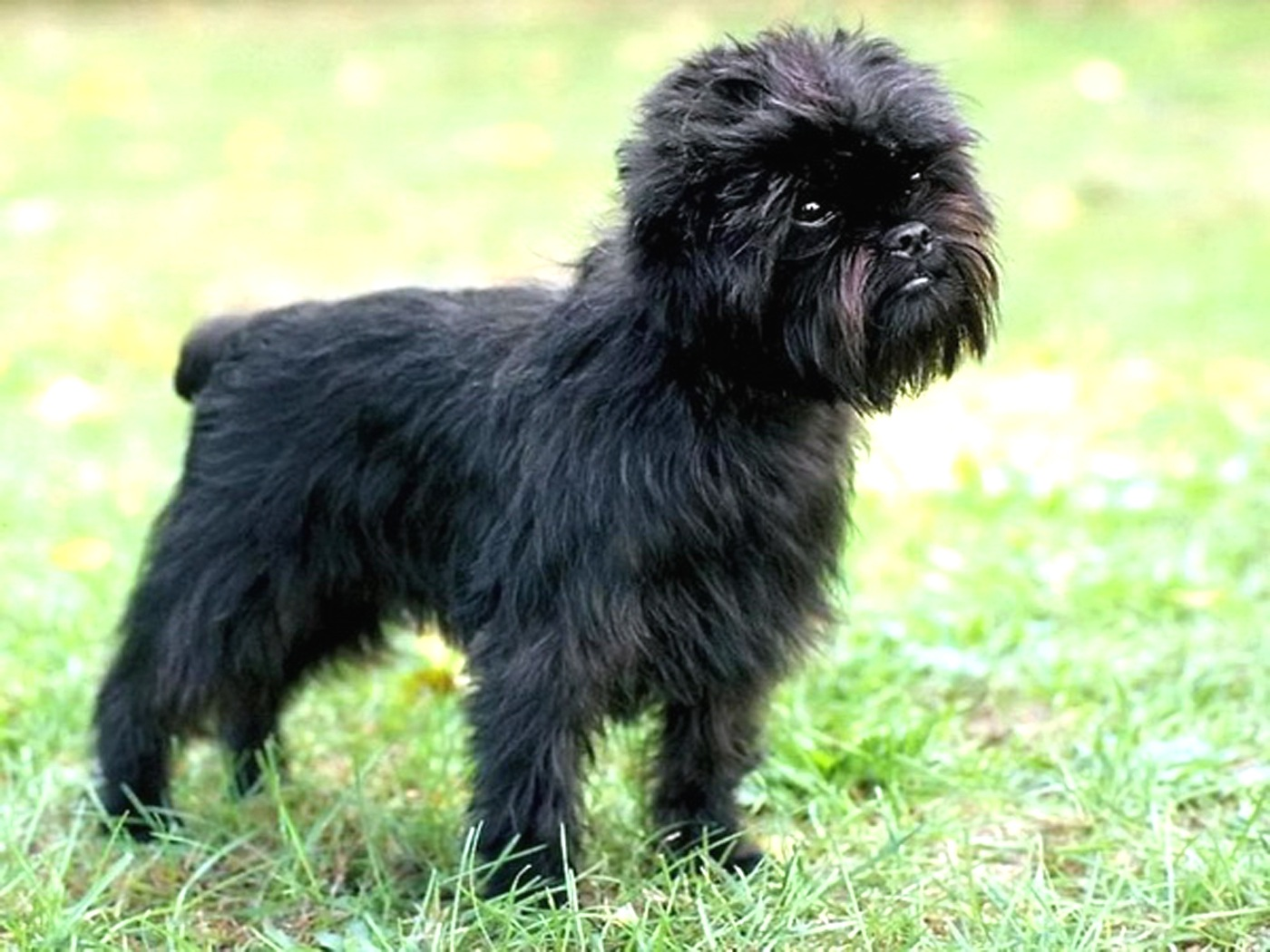 Affenpinscher Expensive Dog Breeds