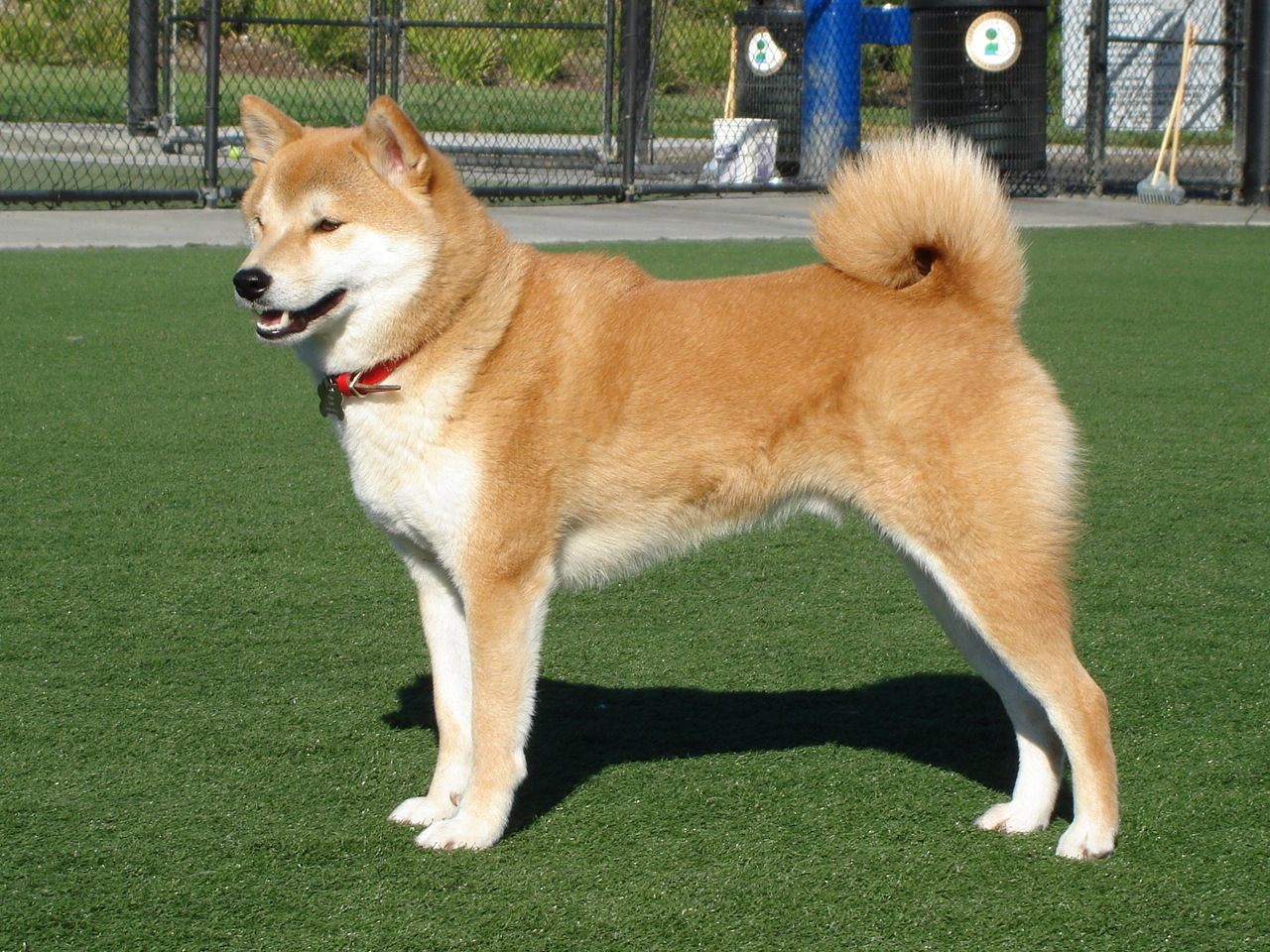Akita-inu Expensive Dog Breeds