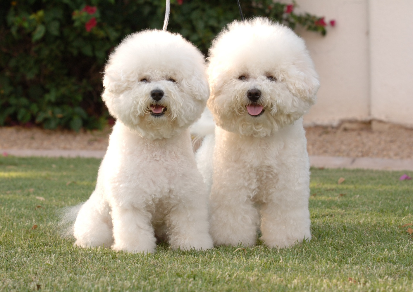 Bichon Frise Expensive Dog Breeds