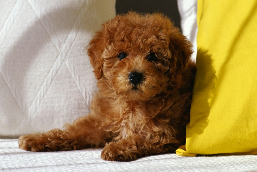 Japanese miniature poodle Expensive Dog Breeds