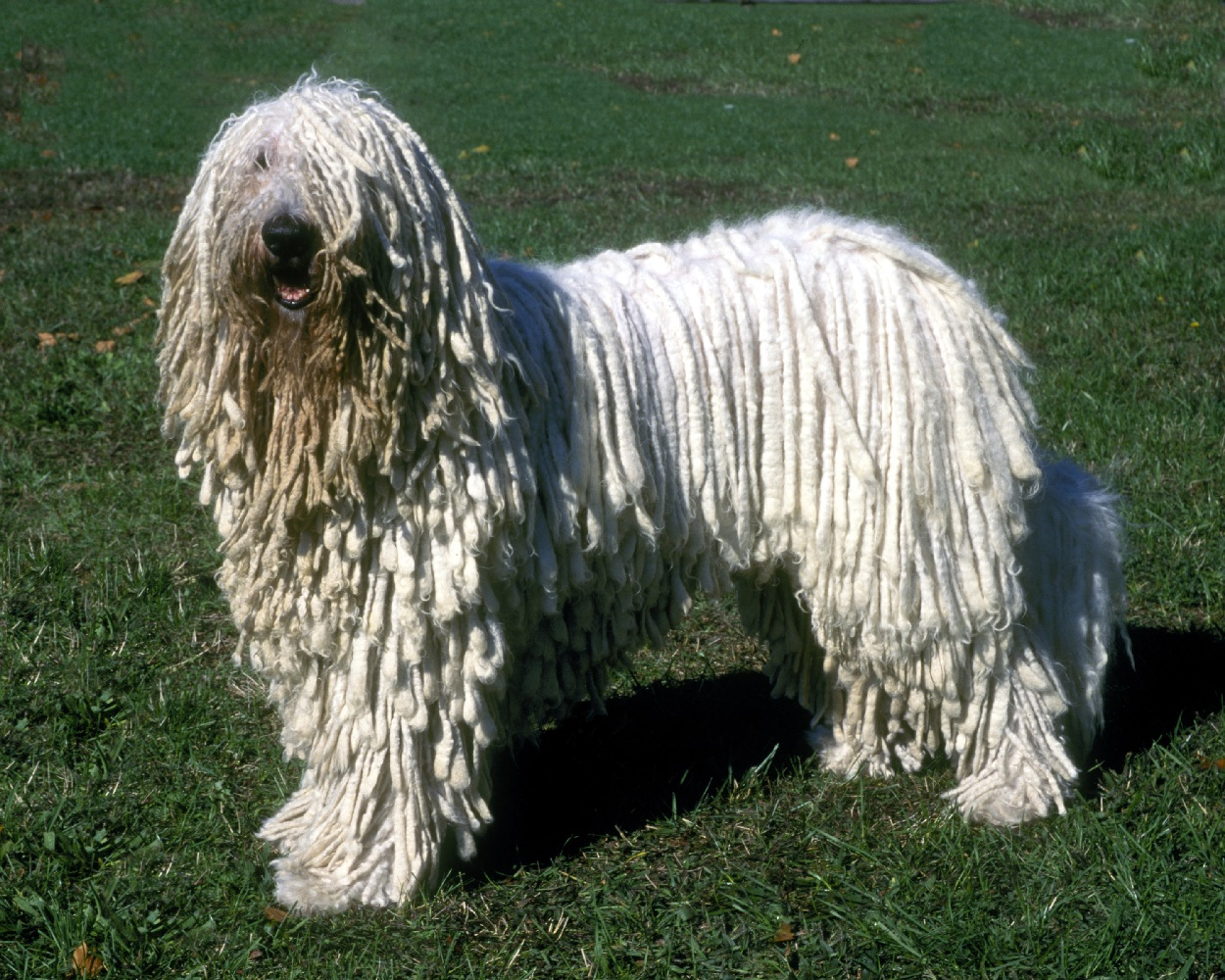 Komondor Expensive Dog Breeds