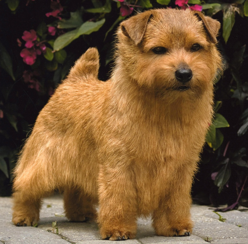 Norfolk Terrier Expensive Dog Breeds