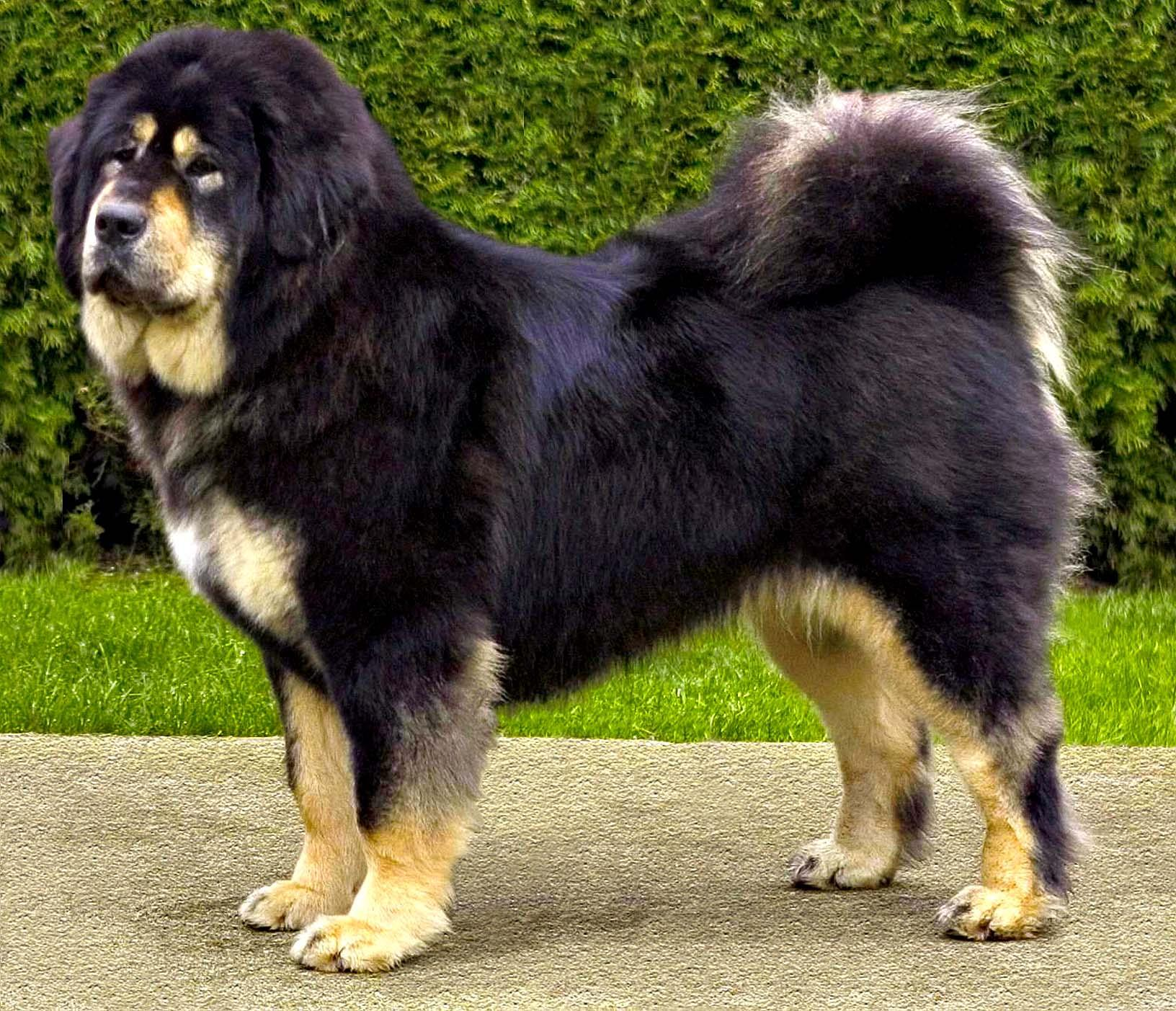 Tibetan Mastiff Expensive Dog Breeds