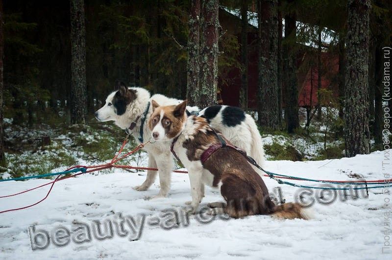 Sled dog breeds (15 photos)
