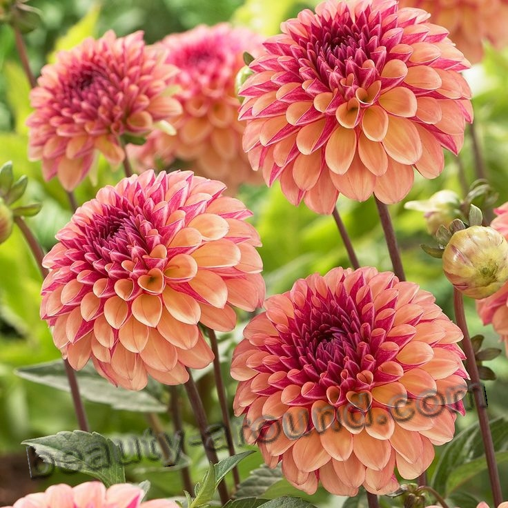 Dahlia beautiful flower photo