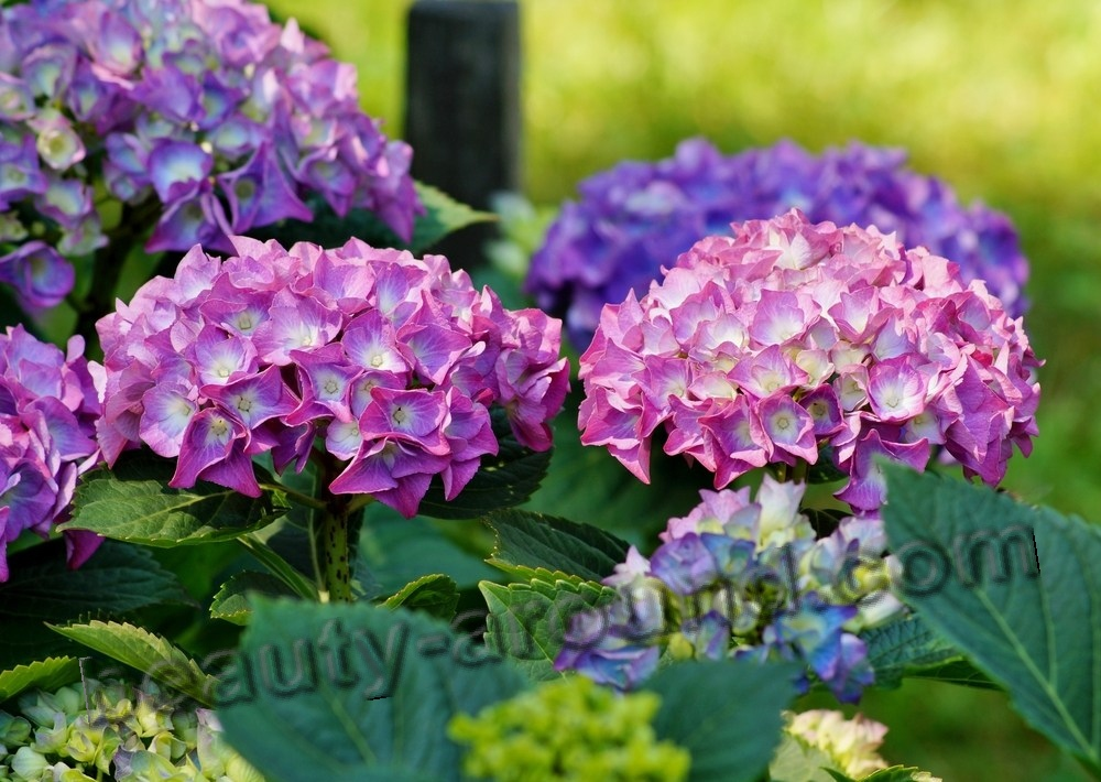 Hydrangea beautiful photo