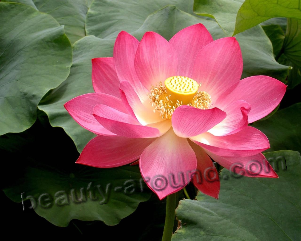 White Lotus picture