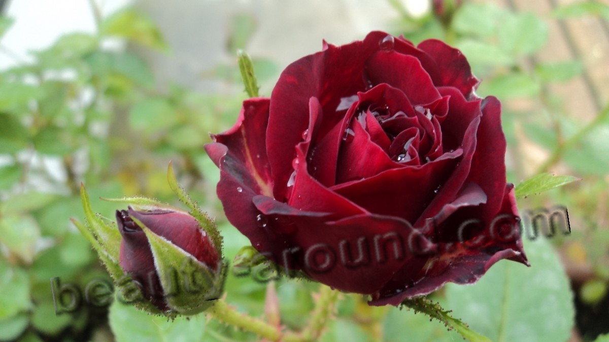 Rose most beautiful flower photo