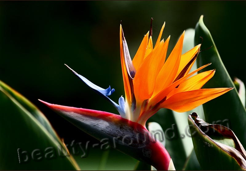 Strelitzia photo