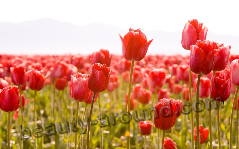 Beautiful flower Tulip photo