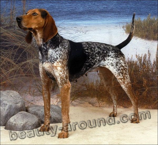 3.Pets-New-Breeds-American-English-coonhound