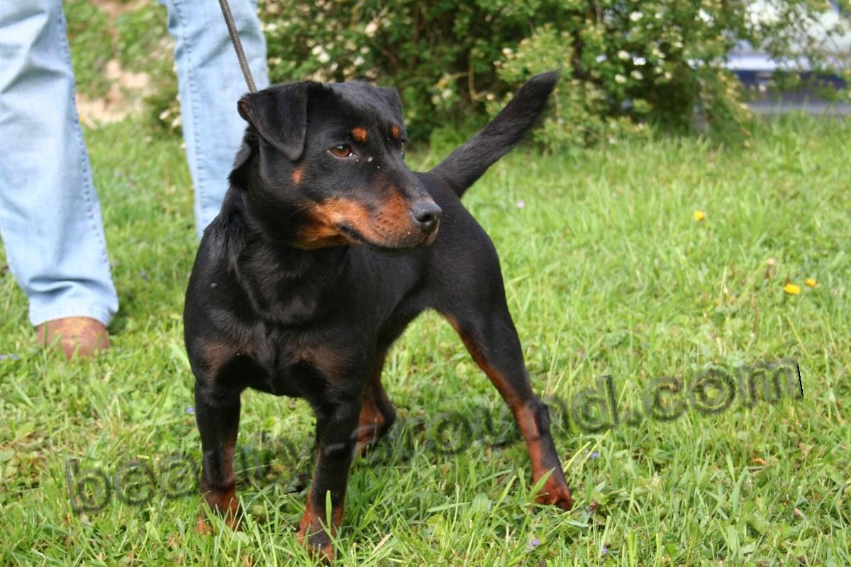 Hunting Dog Breeds Photos