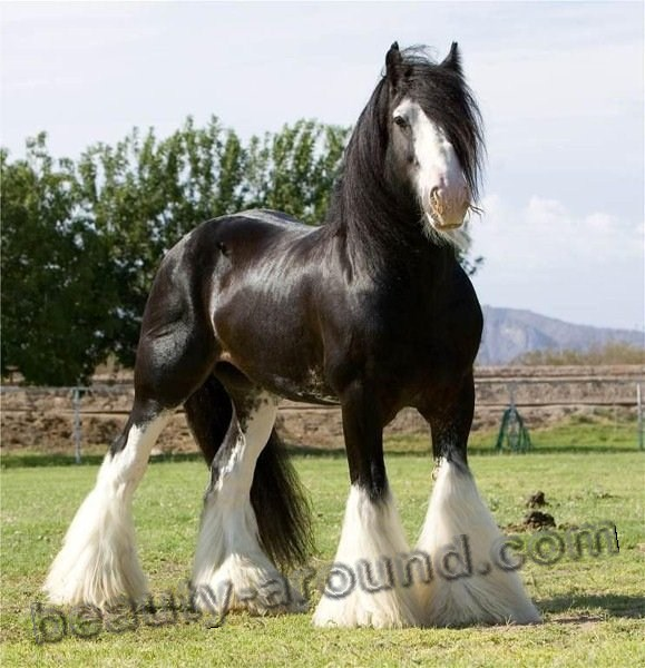 Shire horse  most beautiful horse breeds photos