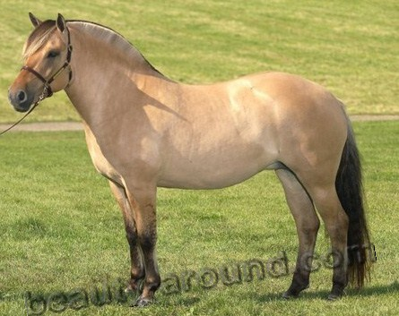 Fjord horse most beautiful horse breeds photos