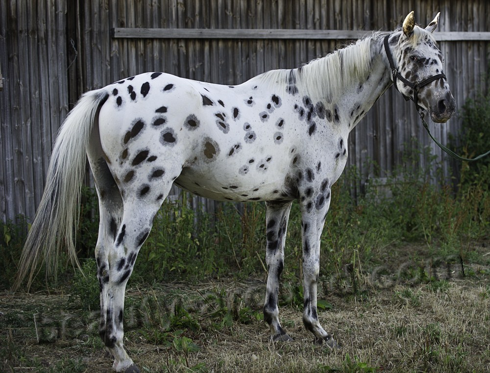 Knabstrupper most beautiful horse breeds photos