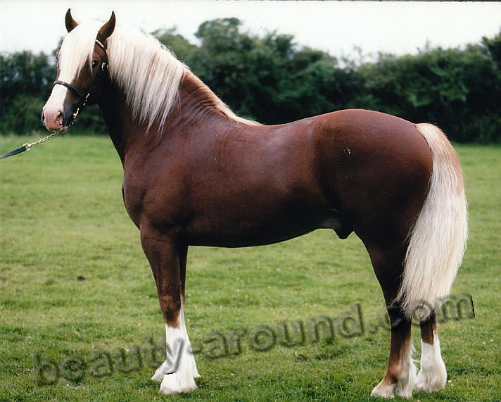 Welsh pony most beautiful horse breeds photos
