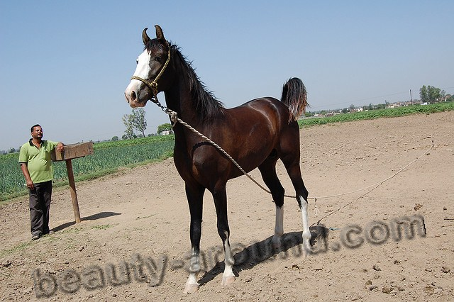 Marwari horse most beautiful horse breeds photos