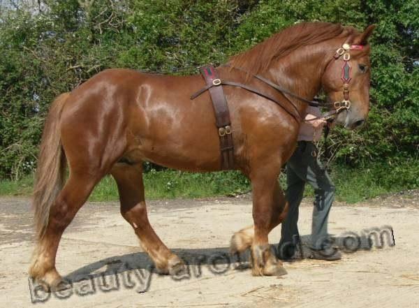 Суффолькская лошадь (суффольк) порода лошадей