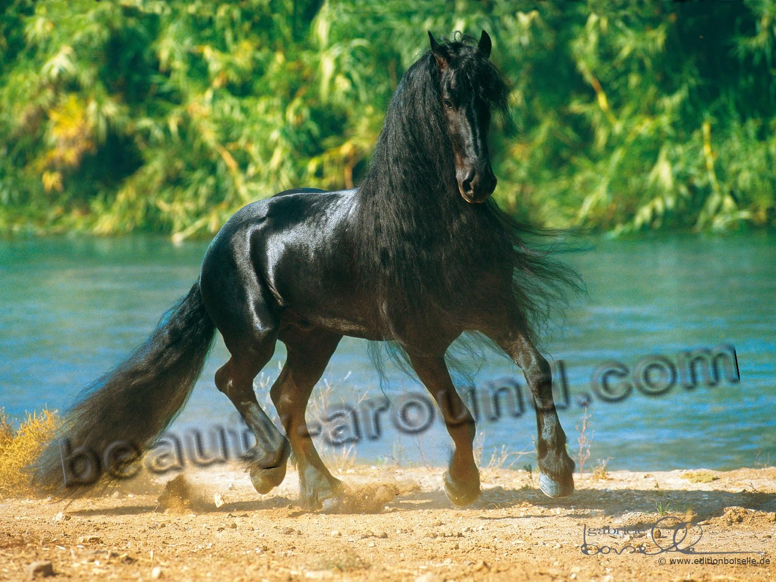 Friesian horse most beautiful horse breeds photos