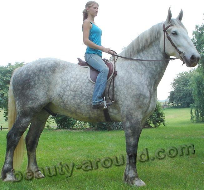 Першерон (Першеронская лошадь) порода лошадей